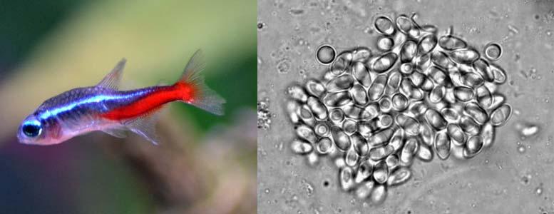 Внешние проявления Неоновой болезни на одноимённой рыбке - Голубом неоне. Увеличенное изображение колонии паразитов Pleistophora hyphessobryconis